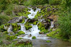 酸性の水が流れる場所に生育するチャツボミゴケ