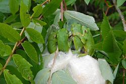樹上で産卵中のモリアオガエル(日本最高標高繁殖地)