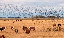 刈り取りが終わった南半球の冬(6月)の水田に放牧されている牛とコウウチョウ(Cow Bird)の群れ