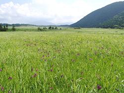 夏の花に彩られ始めたタデ原湿原