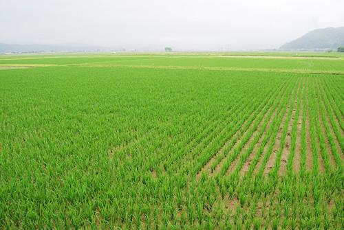 拡張エリアの伊豆地区の田んぼ