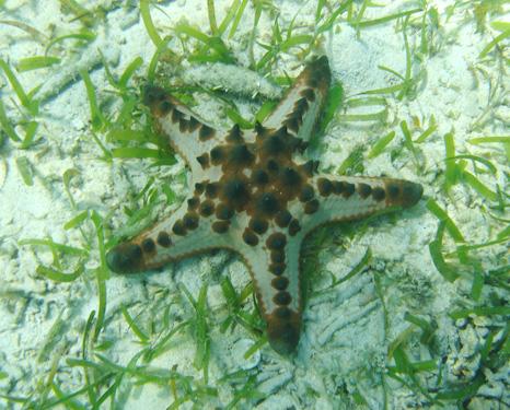 海草藻場とコブヒトデ