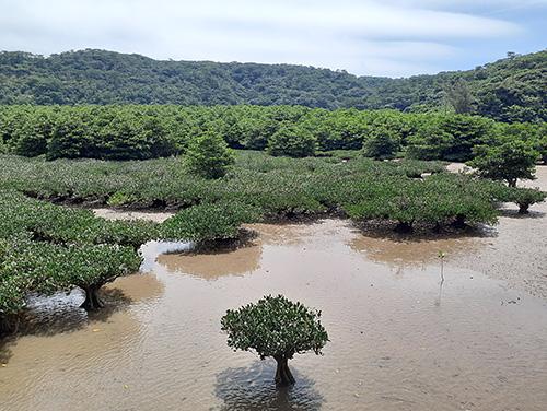 大浦川河口のマングローブ林